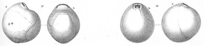 Pyrgoella irregularis