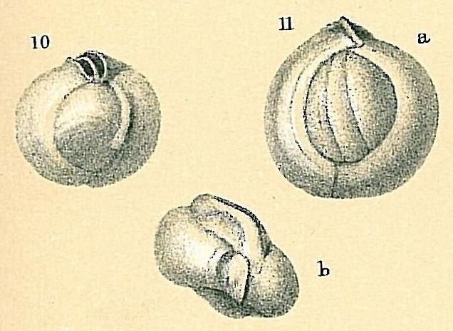 Sigmamiliolinella australis