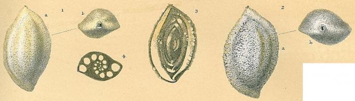 Sigmoilopsis schlumbergeri