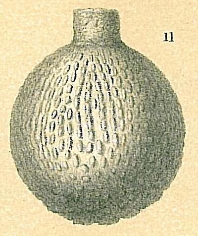 Lagena sp.nov2.