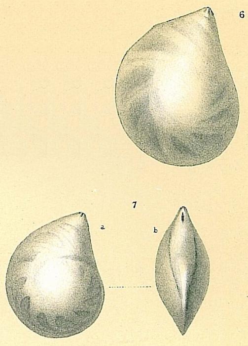 Lenticulina convergens