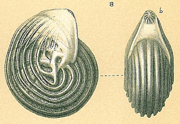 Lenticulina sp.nov.