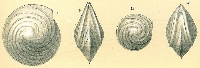 Lenticulina vortex