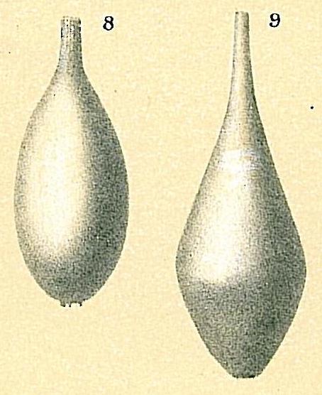 Procerolagena clavata
