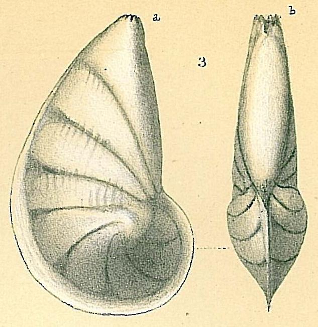 Vaginulinopsis reniformis