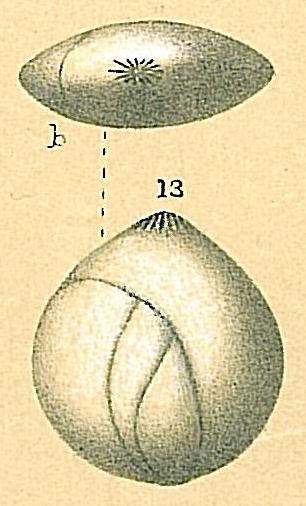 Globulina inaequalis