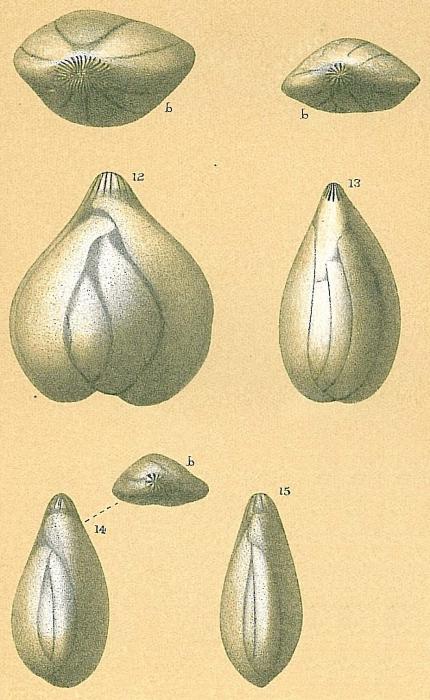 Sigmoidella elegantissima