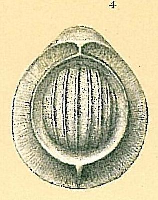 Fissurina clathrata