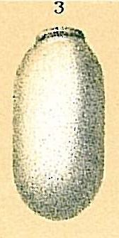 Fissurina quadrata