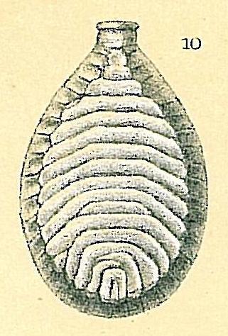 Fissurina schulzeana