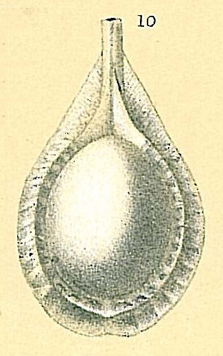 Fissurina sp.nov4.