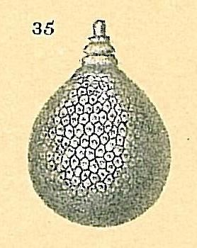 Oolina favosopunctata