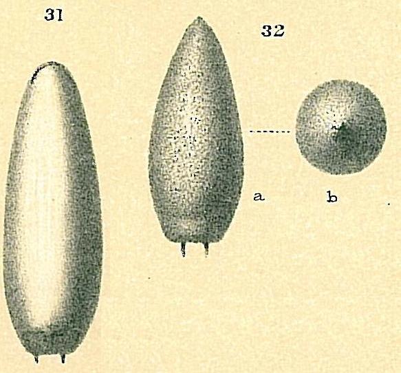 Oolina truncata