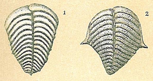 Bolivinella folia