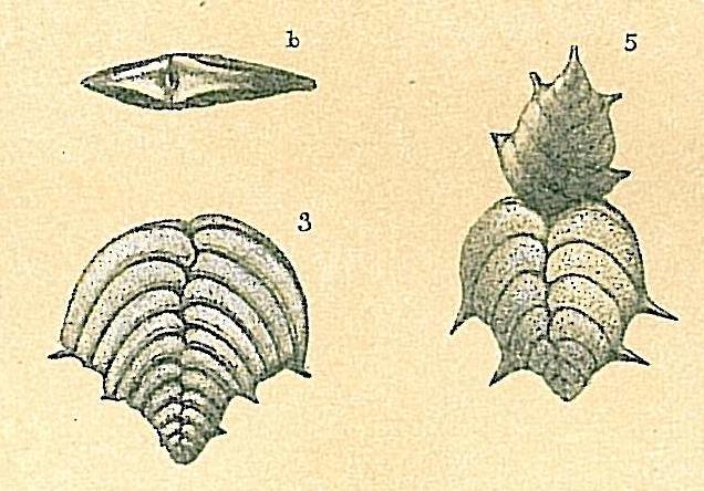 Bolivinella philippinensis