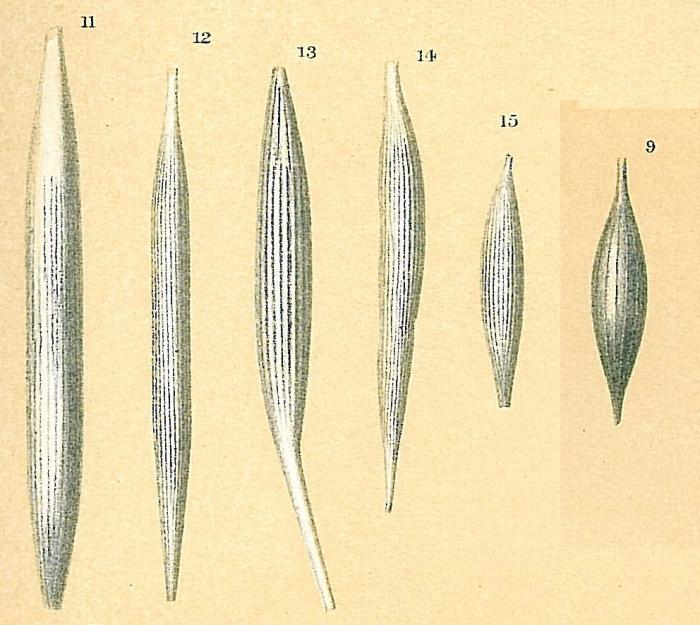 Procerolagena gracilis