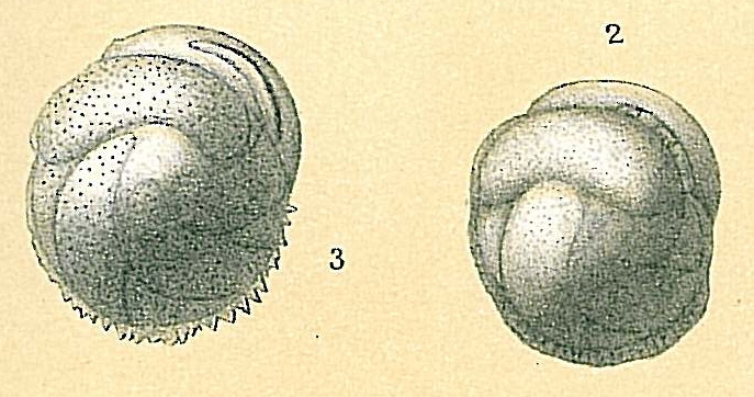 Cassidulina laevigata var. carinata