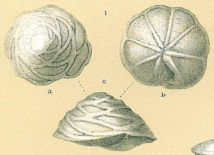 Neoeponides berthelotianus