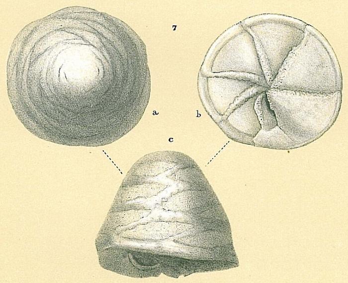 Neoeponides procerus