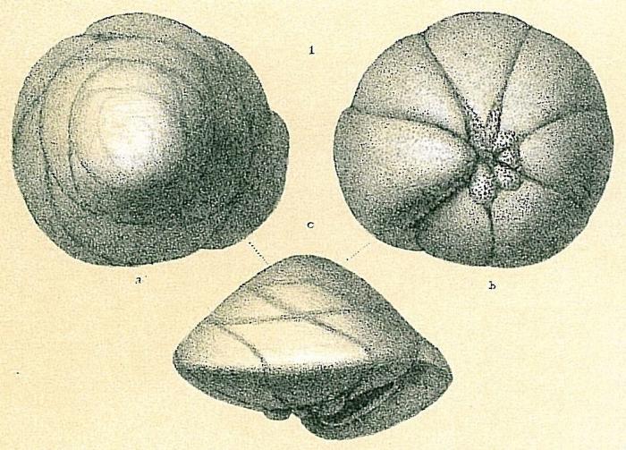 Neoeponides schreibersii