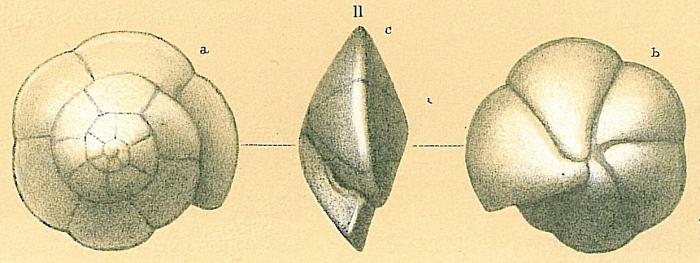 Oridorsalis umbonatus