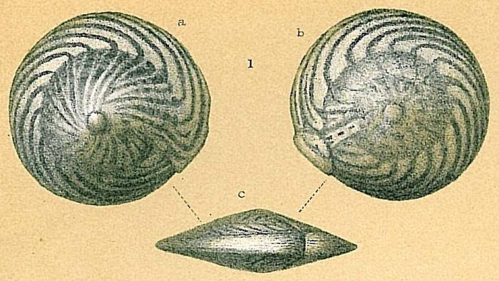 Amphistegina bicirculata
