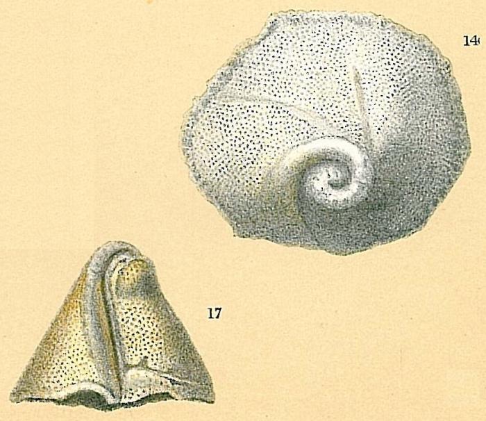 Carpenteria balaniformis