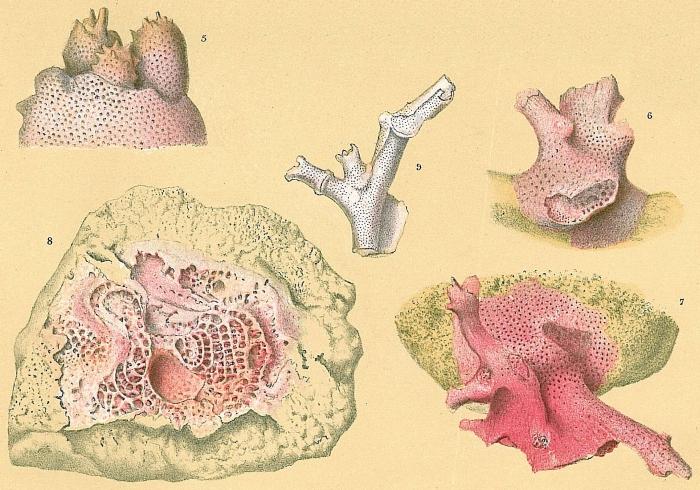 Miniacina miniacea