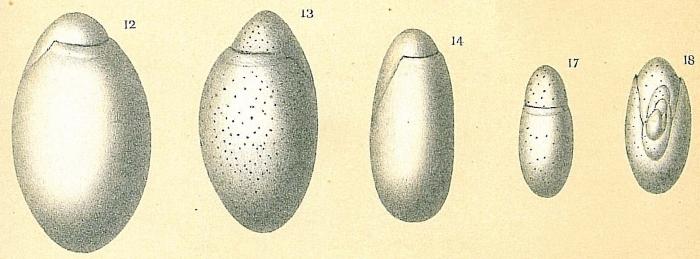 Chilostomella oolina