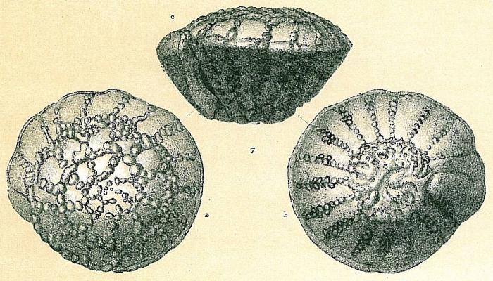 Pseudorotalia schroeteriana
