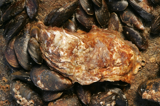 Crassostrea gigas (Thunberg, 1793)
