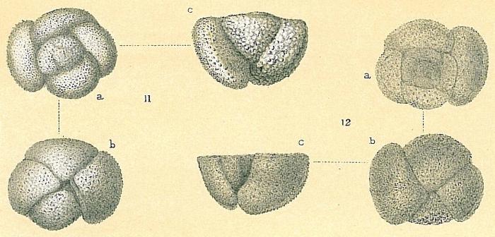Globorotalia crassaformis