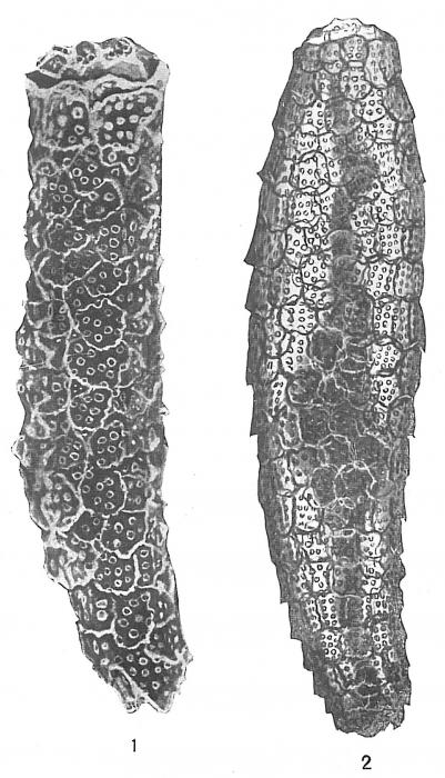 Technitella thompsoni