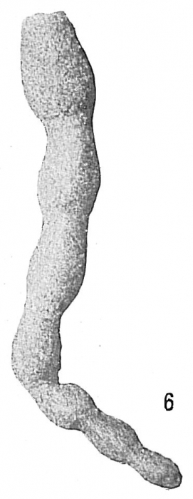 Hormosina carpenteri