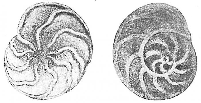 Trochammina ochracea