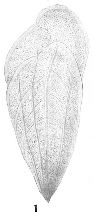 Bolivina subaenariensis mexicana