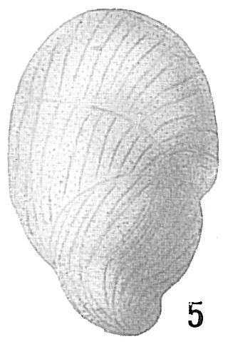 Buliminella elegantissima var. seminuda