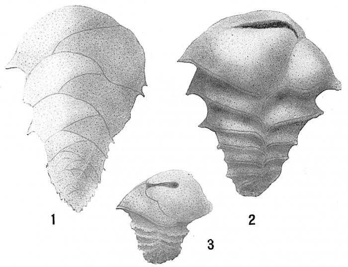 Ehrenbergina trigona braziliensis