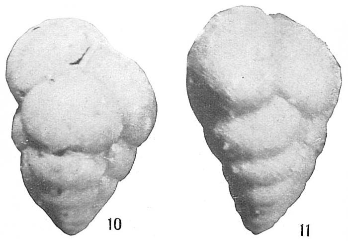 Verneuilina propinqua