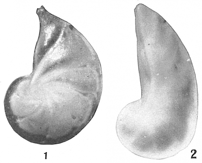 Cristellaria occidentalis