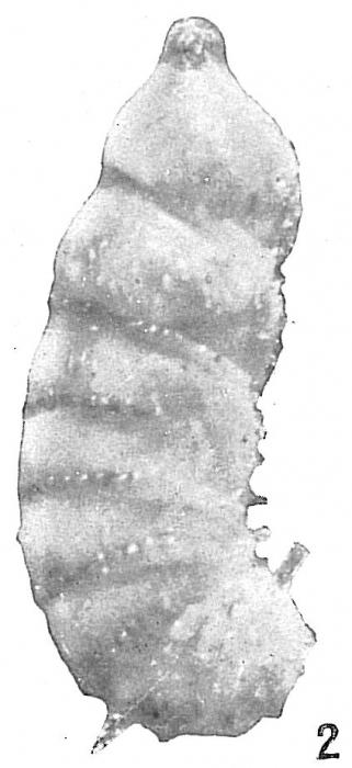 Cristellaria subaculeata