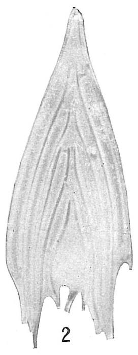 Frondicularia sagittula-Cushman-Atlant-4