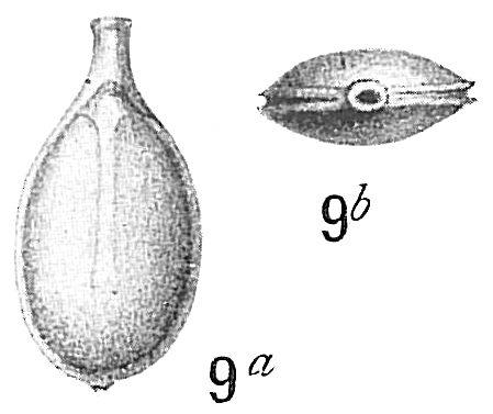 Lagena bicarinata