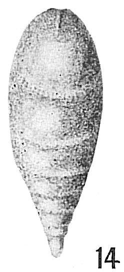 Lagena chrysalis