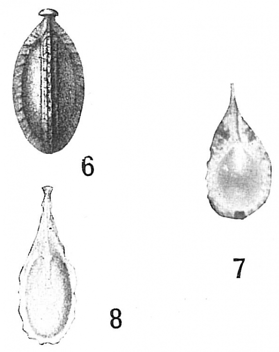 Lagena lagenoides