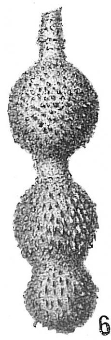 Nodosaria hispida