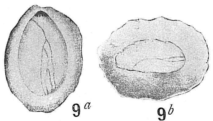 Polymorphina concava