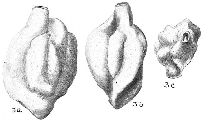 Quinqueloculina bradyana