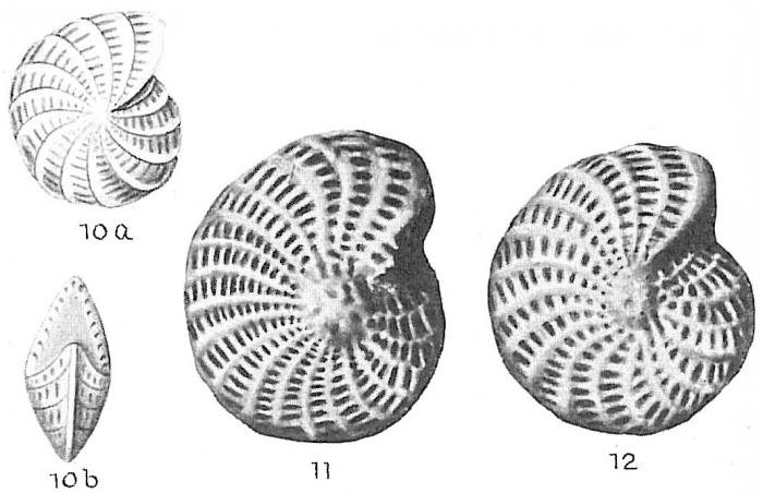 Elphidium oweniana