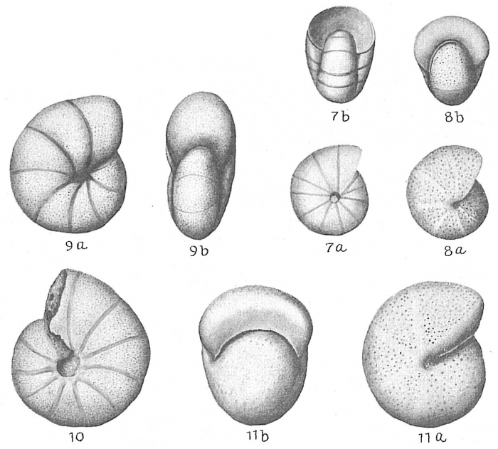 Nonion pompilioides